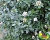 Viburnum tinus - Laurier tin - Pot de 3L