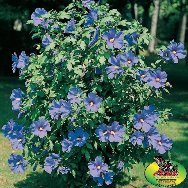 L'Hibiscus syriacus Oiseau Bleu - Ketmie des jardins - Pot de 3L - Hauteur 60/80
