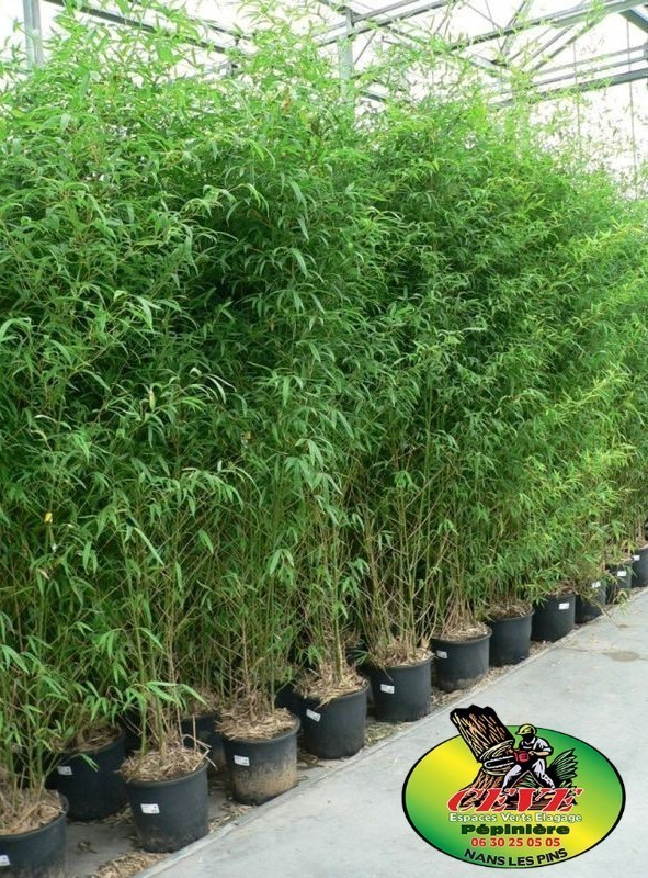 Bambusa aurea (Phyllostachys aurea) - Bambou doré