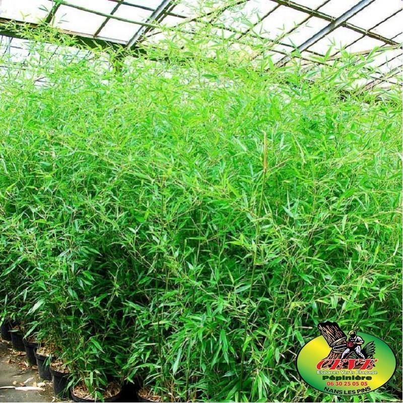 Phyllostachys bissetii - Bambou moyen