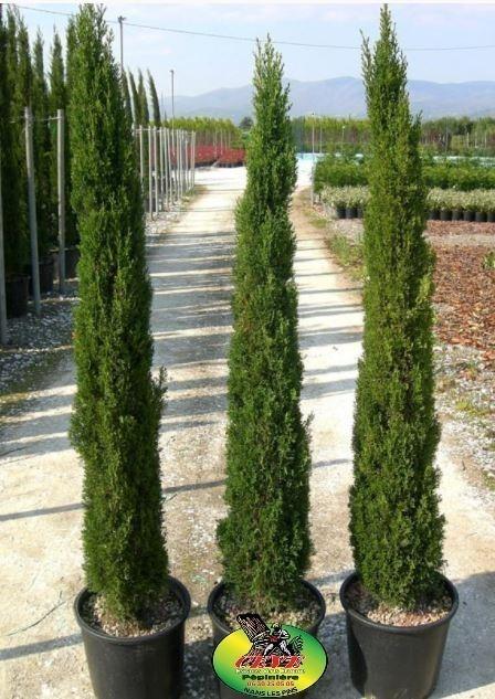 Cupressus sempervirens Stricta - Cyprès d'Italie - Pot de 7L - Hauteur 80/100