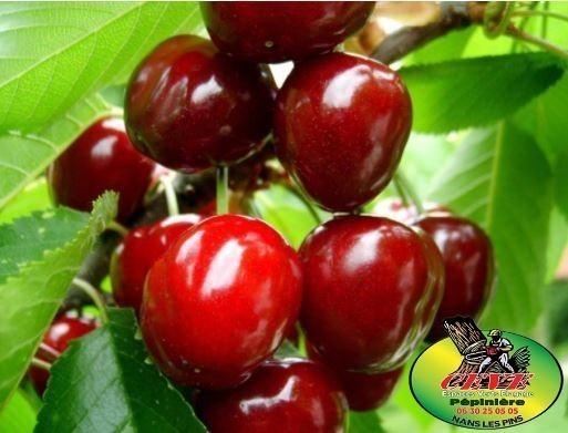 Prunus avium burlat - Cerisier à fruits