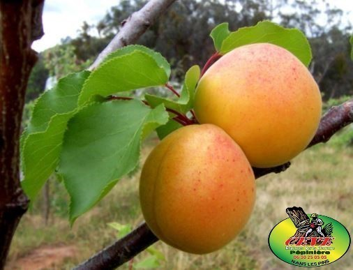 Prunus armeniaca Luizet - Abricotier Luizet