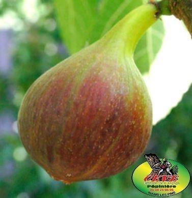 Ficus carica GOUTTE D'OR - Figuier GOUTTE D'OR