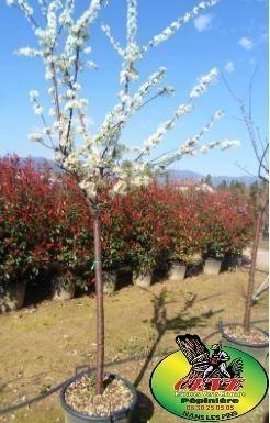 Prunus domestica Reine Claude - Prunier Reine Claude