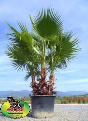 Washingtonia robusta - Palmier du Mexique