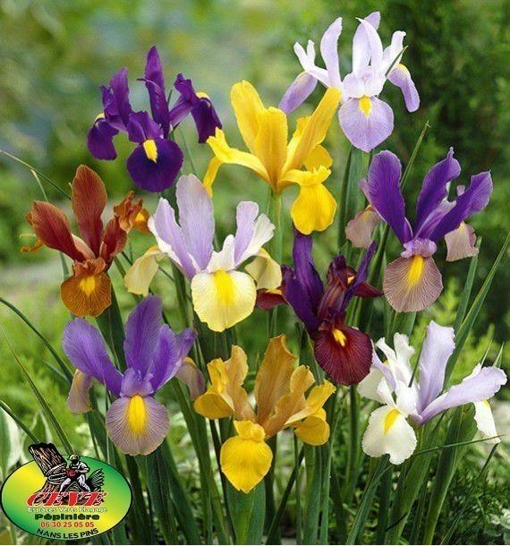 Iris germanica - Iris d'Allemagne - Pot de 2L