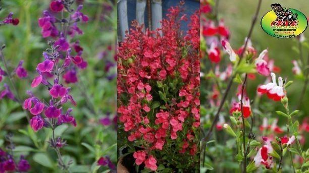 Salvia X jamensis - Sauge jamensis