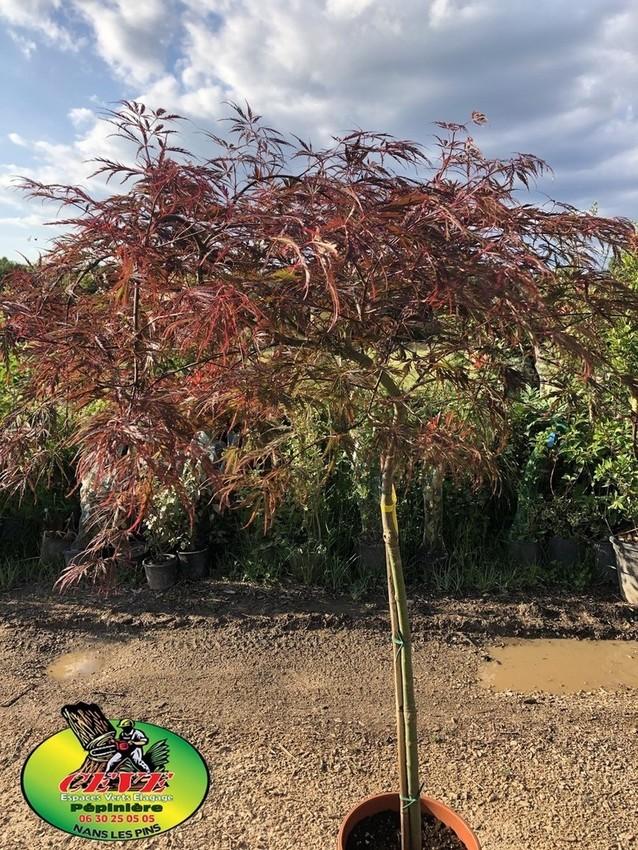 Acer-du-Japon palmatum 'Dissectum garnet' - Erable du Japon