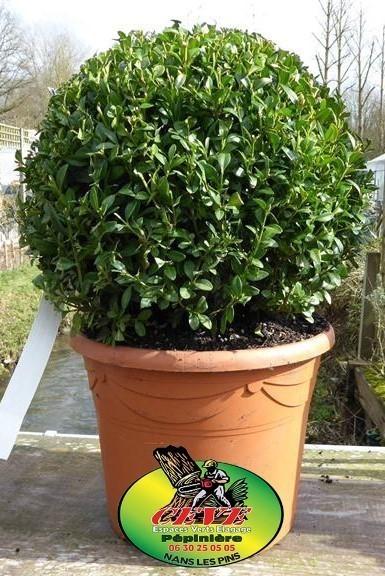 Buxus microphylla Faulkner - Buis - Pot de 10L