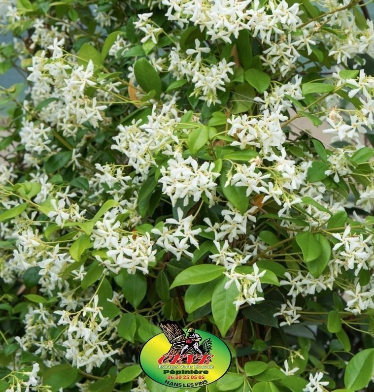 Trachelospermum jasminoides - Jasmine étoilé, faux jasmin - Pot de 3L