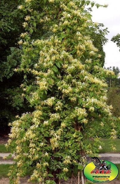 Lonicera japonica 'Halliana' - Chèvrefeuille du Japon 'Halliana'