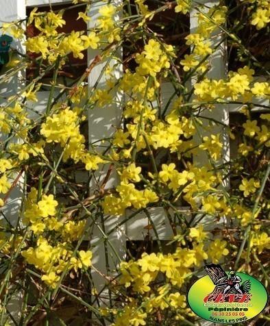 Jasminum nudiflorum - Jasmin d'hiver - Pot de 3L - Hauteur 125/150