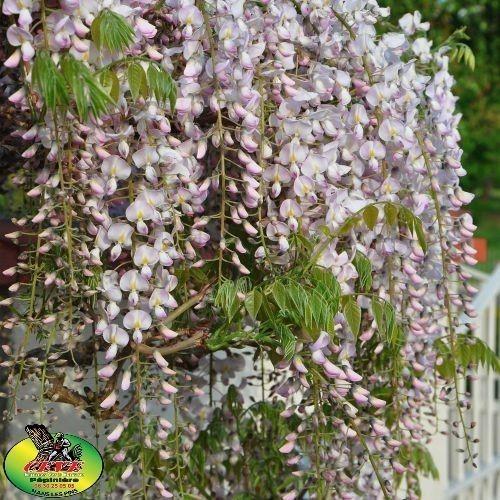 Wisteria sinensis - Glycine de chine