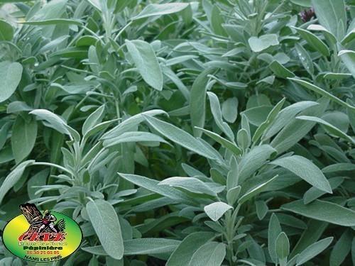 Salvia officinalis (Sauge) - Sauge, Herbe sacrée