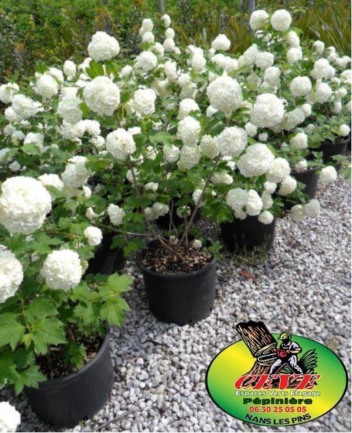 Viburnum opolus 'Roseum' (opolus 'Sterile') - Boule de Neige