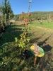 Rubus fructicosus - Ronce commune - pot 2L - 100/125