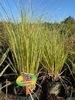 Cortaderia selloana - Herbe de la pampa - Pot de 35L