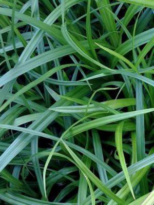 Carex morrowii - Laîche japonaise - Pot de 10L