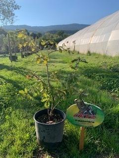 Quercus pubescens - Chêne pubescent - Pot de 10L - 125/150