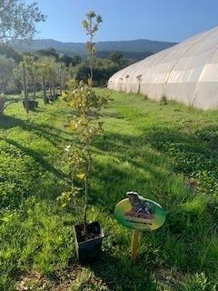 Quercus ilex - Chêne vert - Pot de 10L - 125/150