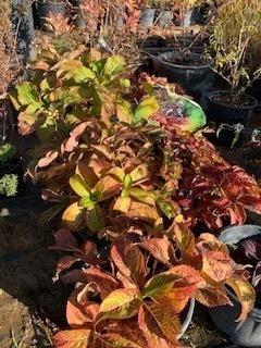 Hydrangea paniculata 'vanille fraise' - Hortensia paniculé 'vanille fraise' - Pot de 20L