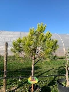 Pinus pinea - Pin parasol ou pin pignon - 175/200