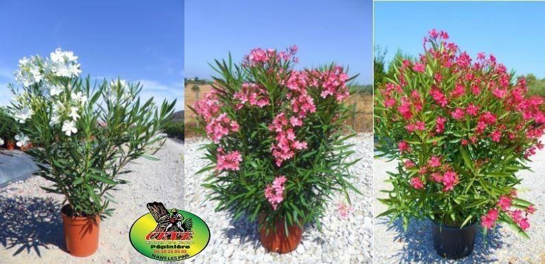 Nerium oleander - Laurier rose - Pot de 20L