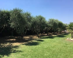 CEVE Pépinière - Nans-les-Pins - Taille d'oliviers